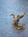 Zwei Enten lizenzfreie stockfotos