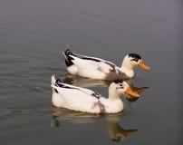 Zwei Enten Lizenzfreie Stockfotografie