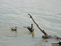 Zwei Enten Lizenzfreie Stockbilder