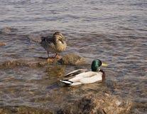 Zwei Enten auf dem Ufer, man steht und das andere schwimmt im Fluss stockbilder
