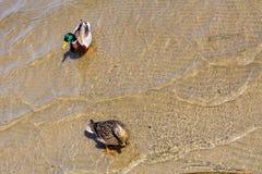 Zwei Enten auf dem Wasser Lizenzfreie Stockfotos