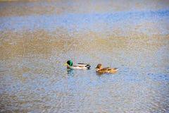 Zwei Enten auf dem Wasser Stockfoto