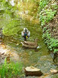 Zwei Enten auf dem Wasser Stockfotografie