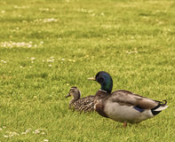 Zwei Enten auf einem Gebiet Enten auf einem Gebiet Lizenzfreie Stockbilder