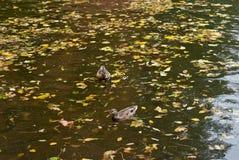 Zwei Enten auf einem Herbstwasser lizenzfreie stockbilder