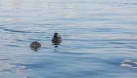Zwei Enten auf einem See Lizenzfreies Stockfoto