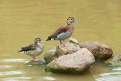 Zwei Enten auf Felsen Stockfotografie