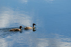 Zwei Enten auf Wasser Lizenzfreies Stockbild