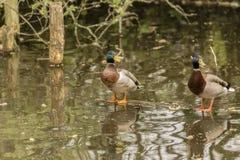 Zwei Enten, die auf einem Klotz schwimmt in Wasser stehen lizenzfreie stockfotografie