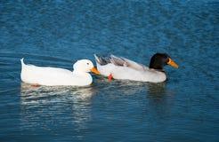 Zwei Enten, die auf einen blauen See schwimmen Stockfoto