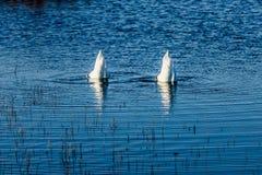 Zwei Enten, die in das Wasser von einem See versenkt werden lizenzfreie stockfotos
