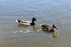 Zwei Enten, die im Fluss schwimmen lizenzfreie stockfotos