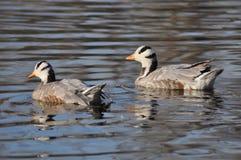Zwei Enten, die im Wasser schwimmen Lizenzfreie Stockbilder