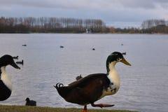 Zwei Enten, die nahe dem Wasser gehen Lizenzfreie Stockbilder