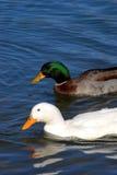 Zwei Enten im Teich Lizenzfreie Stockfotos