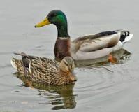Zwei Enten im Wasser Stockfotografie