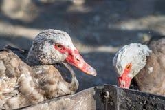 Zwei Enten mit roten Nasen und Augen Stockbilder