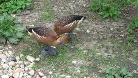 Zwei Enten schützen ihre Eier stock footage