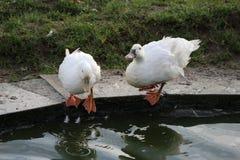 Zwei Enten sind Trinkwasser lizenzfreie stockfotografie