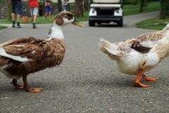 Zwei Enten, welche die Straße kreuzen lizenzfreie stockfotografie