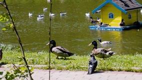 Zwei Enteriche sind auf dem Ufer des Teichs Die Kamera schie?t sie gro? genug und folgt den V?geln Nette Sch?sse Sch?nes Wetter i stock video