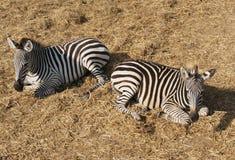 Zwei entspannende Zebras Lizenzfreies Stockfoto