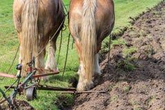 Zwei Entwurfspferde mit einem traditionellen Pflug Stockbild