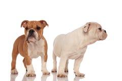 Zwei entzückende englische Bulldoggenwelpen, die zusammen stehen Stockbild