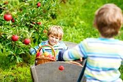 Zwei entzückende glückliche Kleinkindjungen, die draußen rote Äpfel auf Biohof, Herbst auswählen und essen Lustiges kleines stockfotografie
