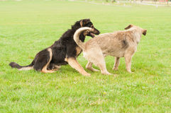 Zwei entzückende Hunde, die auf Gras im Park spielen Stockbilder
