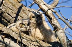 Zwei entzückende junge junge Eulen gehockt in einem Baum Lizenzfreies Stockfoto