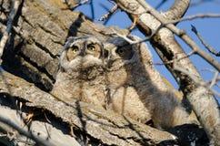 Zwei entzückende junge junge Eulen gehockt in einem Baum Lizenzfreie Stockbilder