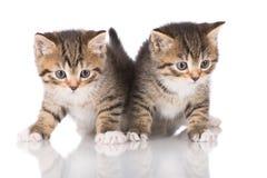 Zwei entzückende Kätzchen der getigerten Katze stockbild