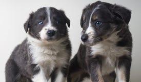 Zwei entzückendes Hundeporträt border collies lizenzfreies stockfoto