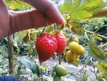 Zwei Erdbeerfreundschaft lizenzfreie stockfotografie