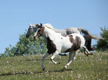 Zwei erstaunliche Pferde, die zusammen laufen Stockbild