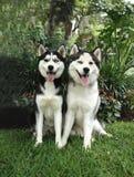 Zwei erwachsene Schlittenhunde lizenzfreies stockfoto