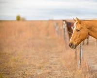 Zwei erwartungsvolle Pferde Stockbild