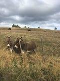 Zwei Esel auf dem Bauernhofgebiet hinter Zaun Lizenzfreie Stockbilder