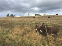 Zwei Esel auf dem Bauernhofgebiet hinter Zaun Lizenzfreies Stockbild