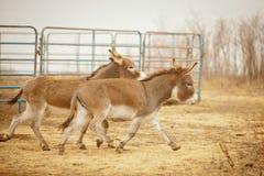 Zwei Esel auf dem Lauf Stockfoto