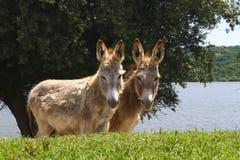 Zwei Esel auf der Wiese Stockfoto