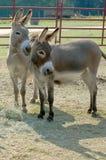 Zwei Esel-Freunde Lizenzfreie Stockfotos