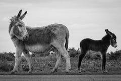 Zwei Esel, Mama, die zurück Baby betrachtet Stockbild