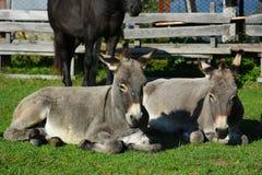Zwei Esel und ein Pferd aalen sich in der Sonne Stockfoto