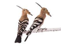 Zwei Eurasier Hoopoe stockbilder