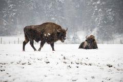 Zwei Europäer-Bison während des Winters auf Schnee Lizenzfreie Stockfotos