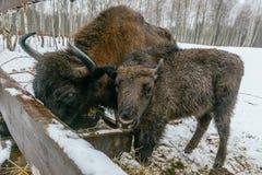 Zwei europäische Bisone essen Velour-Gräser Stockbilder