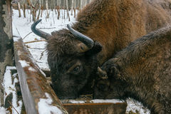 Zwei europäische Bisone essen Velour-Gräser Lizenzfreies Stockfoto