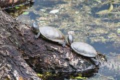 Zwei europäische Teichschildkröten, die auf einem Klotz ein Sonnenbad nehmen stockfoto